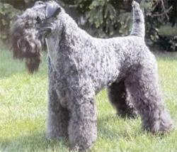 Kerry blue terrier karakter